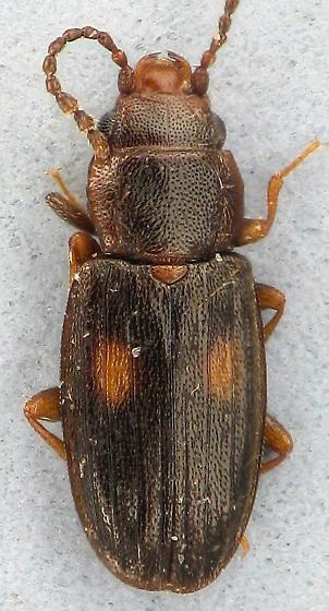 other flat bark  - Laemophloeus biguttatus