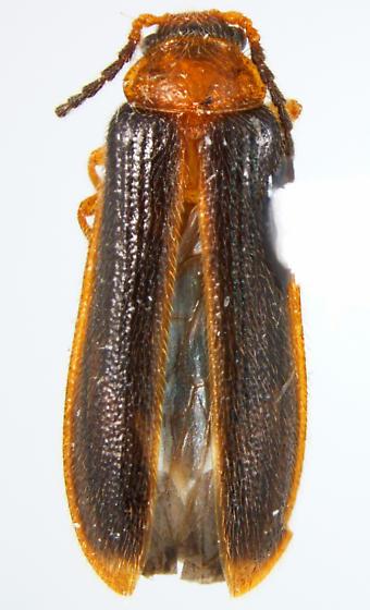 Omethes marginatus