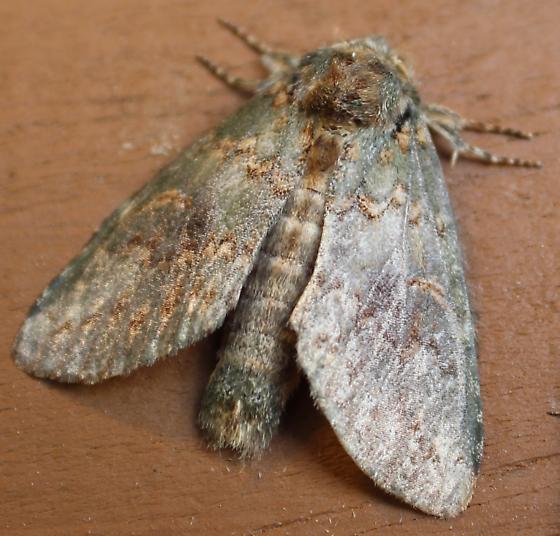 moth #20  - Heterocampa biundata
