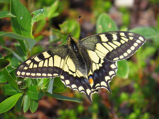 Alaskan Old World Swallowtail - Papilio machaon