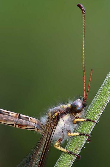 Owlfly Adult - Ascaloptynx appendiculata