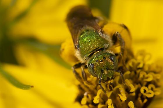 Agapostemon sp. - Agapostemon virescens
