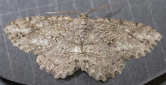 Ectropis crepuscularia - Melanolophia canadaria - male