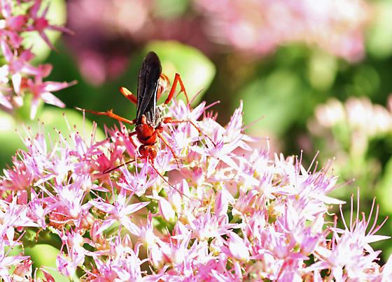 Large orange & black wasp - Tachypompilus ferrugineus - female