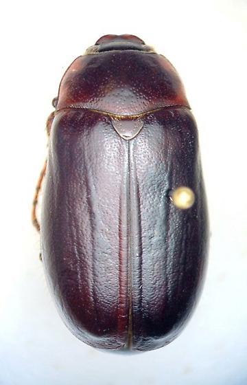 Phyllophaga fusca - male
