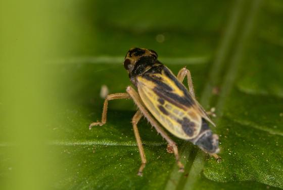 cicadellid - Evacanthus emilus
