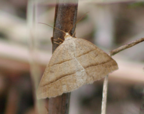 Northern Petrophora - Petrophora subaequaria