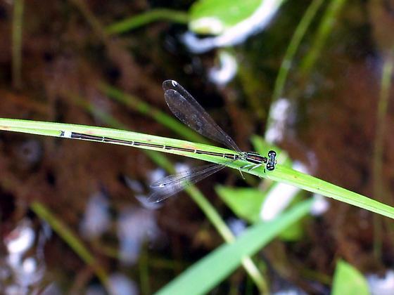Furtive Forktail - Ischnura prognata - male