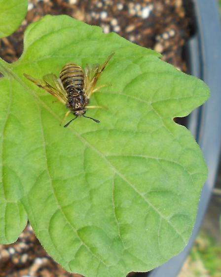 Moth wasp mimic--clearwing moth? - Abia americana