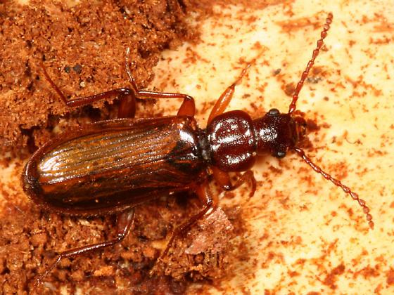 Dead Log Beetle - Pytho seidlitzi