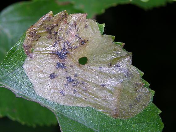 fenusine - Profenusa thomsoni