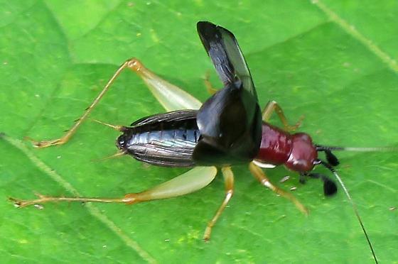 Handsome Trig - male display - Phyllopalpus pulchellus - male