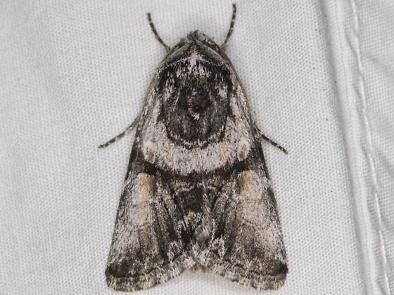 Noctuid moth - Sympistis shirleyae