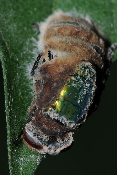 Fuzz-encrusted Blow Fly - Lucilia