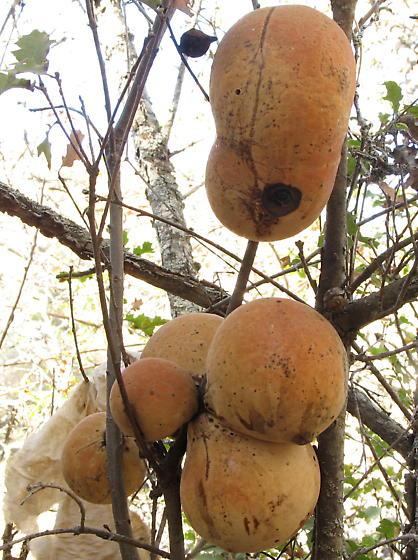 Andricus quercuscalifornicus