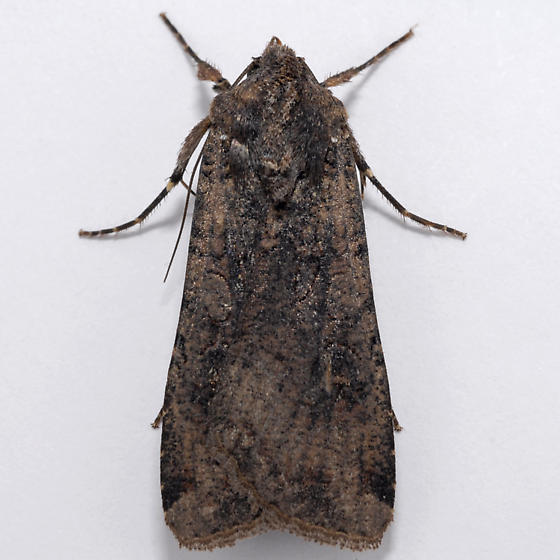 Unknown Noctuid - Peridroma saucia