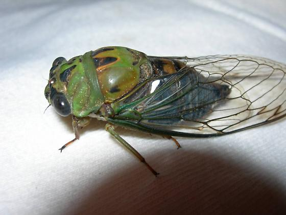 Tibicen winnemanna - Neotibicen winnemanna - male
