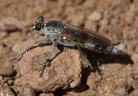 robberfly9314 - Stichopogon trifasciatus