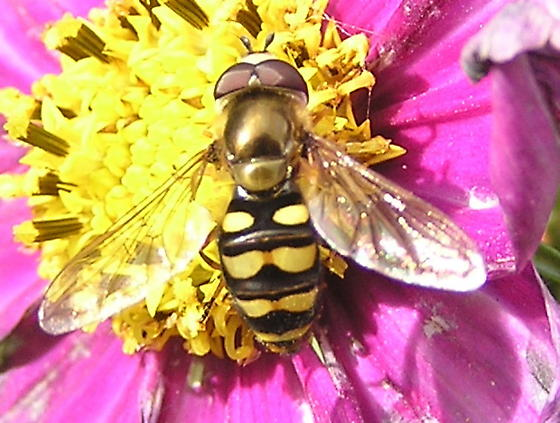 Is this a male Hover Fly? - Eupeodes fumipennis - male