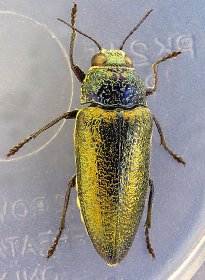 big golden-elytra bup - Gyascutus caelatus