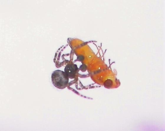 Cyrtophora citricola - male