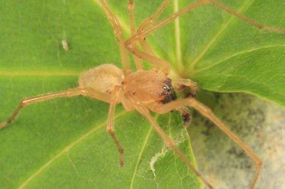 spider - Cheiracanthium inclusum - male