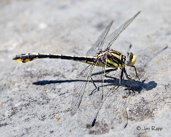 Plains Clubtail - Gomphurus externus - female