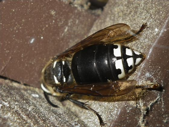 Bee, Wasp, Hornet, or other - Dolichovespula maculata