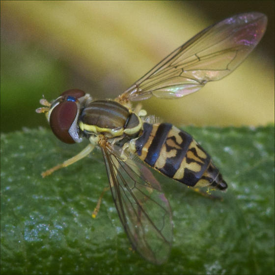 Syrphid Fly - (Toxomerus marginatus) or (Toxomerus geminates) ID Please - Toxomerus geminatus - female