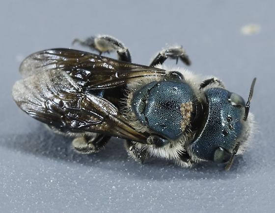Sweat Bee ? - Osmia chalybea