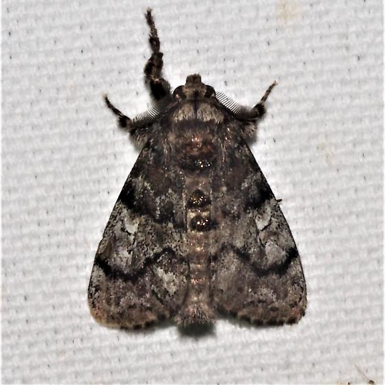 ID Request - Which Tussock - Dasychira - male