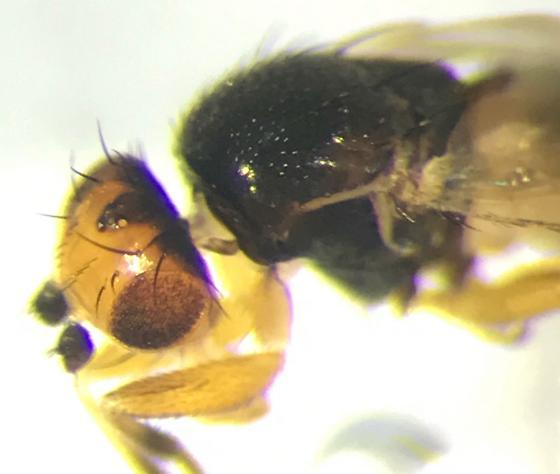 New Genus - Eulimosina ochripes - Spelobia ochripes - male