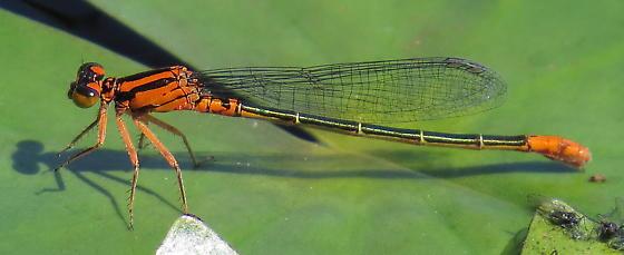 Lilypad Forktail - Ischnura kellicotti - female