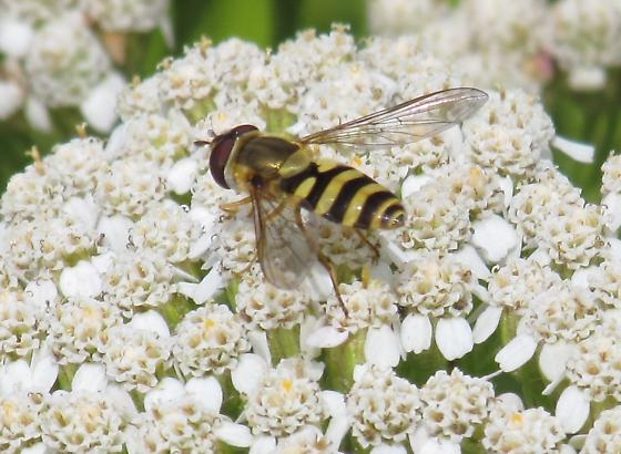 Syrphidae, a flower fly - Syrphus