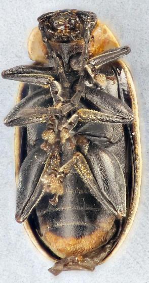 stripped leaf beetle - Disonycha