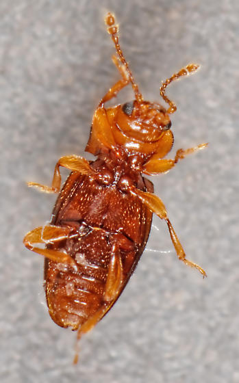 Cute but not necessarily handsome fungus beetle - Rhanidea unicolor