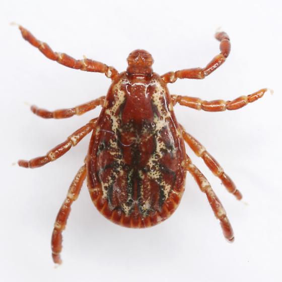 Dermacentor variabilis Say - Dermacentor variabilis - male