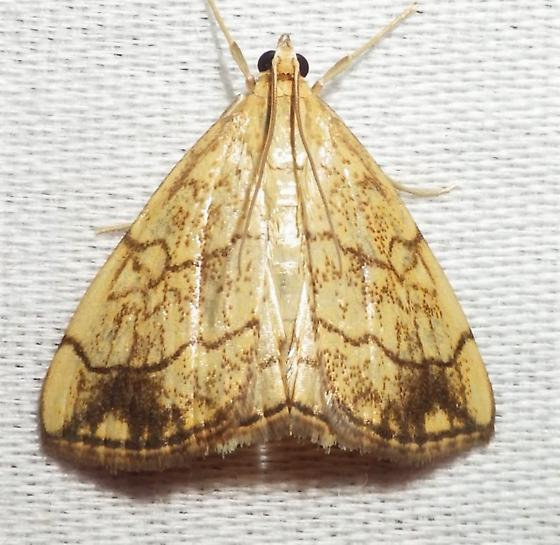 Evergestis pallidata