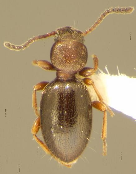 Apocrypha anthicoides Eschscholtz - Apocrypha anthicoides