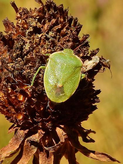 Green Stink Bug - Chlorochroa