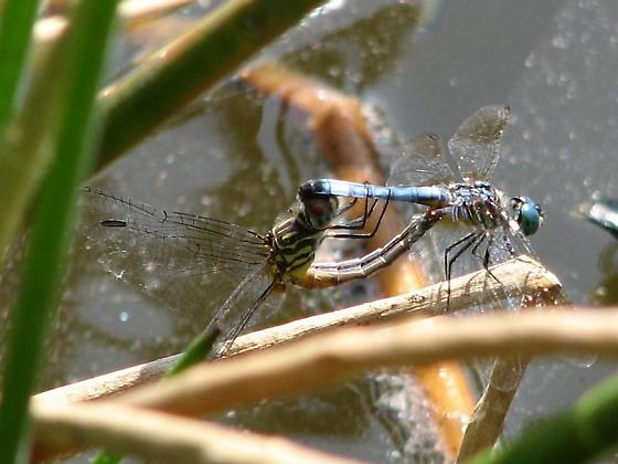 Eastern Pondhawks Mating - Pachydiplax longipennis - male - female