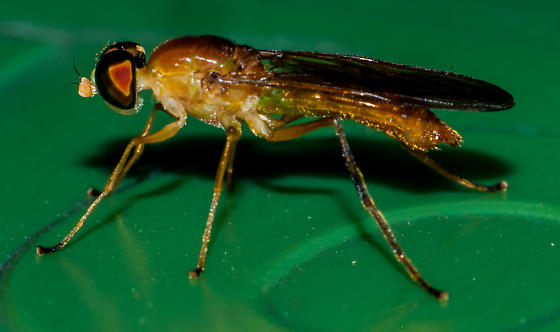 A new fly? - Ptecticus trivittatus
