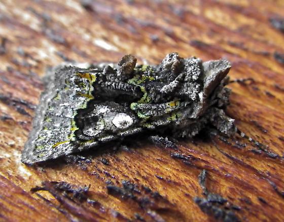 Moth that looks like Lichen - Behrensia conchiformis
