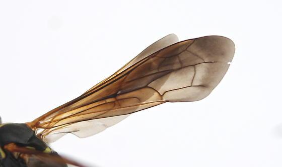 Poecilopompilus - male