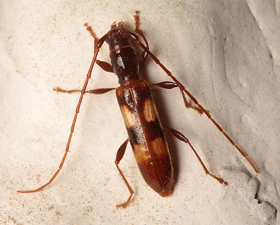 Long-Horned Beetle - Heterachthes quadrimaculatus