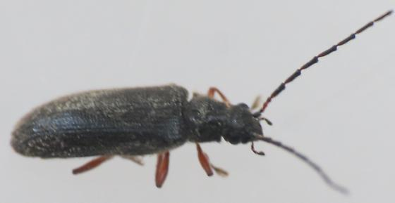 Silver Star Mountain Beetle 10 - Macropogon piceus