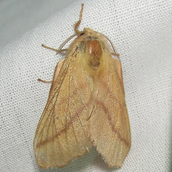 Tan with stripes 2 - Malacosoma disstria
