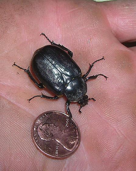 Large black beetle found in SW Pennsylvania - Osmoderma