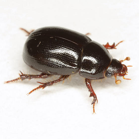 Hybosorus illigeri Reiche - Hybosorus illigeri