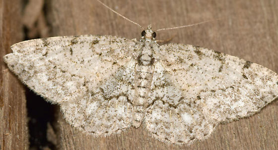 porcelain gray - Protoboarmia porcelaria - female